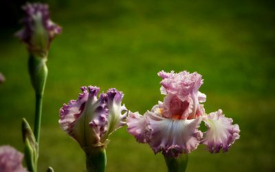 My Dear Lovers of Bearded Irises